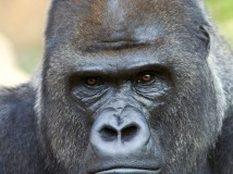Closeup portrait of a gorilla male, severe silverback, on rock background. Menacing expression of the great ape, the most dangerous and biggest monkey of the world. The chief of a gorilla family.